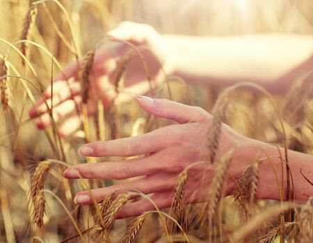 close up of woman hands in cereal field