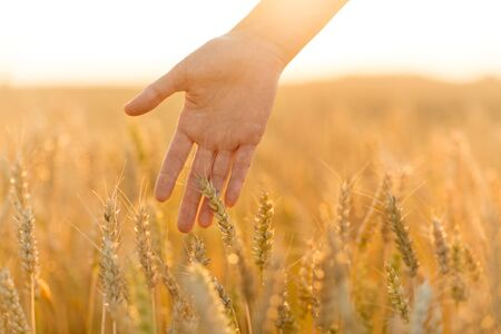 hand touching wheat spickelets on cereal field