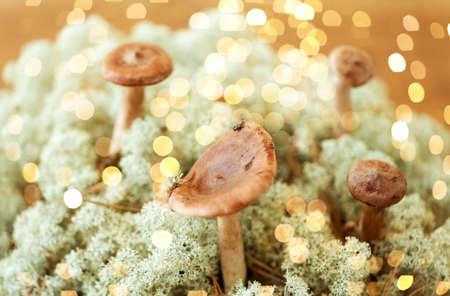 lactarius rufus mushrooms in lichen moss