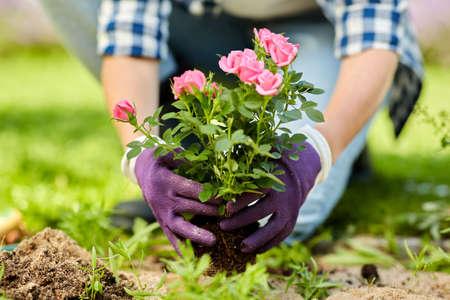 woman planting rose flowers at summer garden