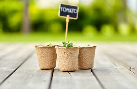 tomato seedlings in pots with name tags Archivio Fotografico