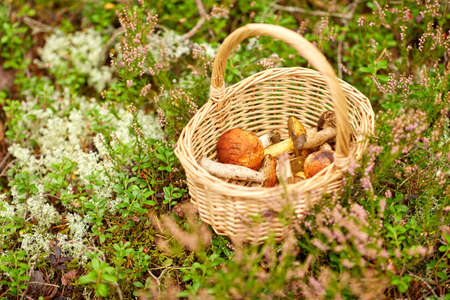 close up of mushrooms in basket in forest