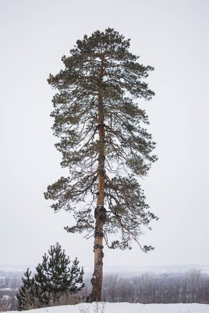 ponderosa pine winter: a lone pine tree in winter forest. Beautiful background.
