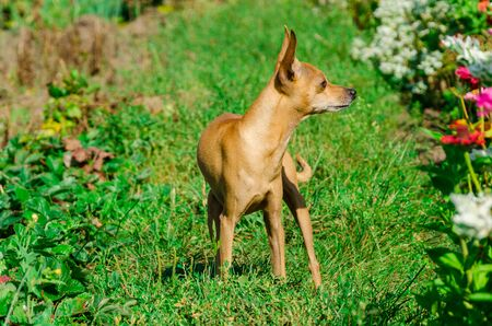 Portrait of dog of toy terrier breed with short hair standing outdoors in a green grass about flower bed on sunny day 免版税图像