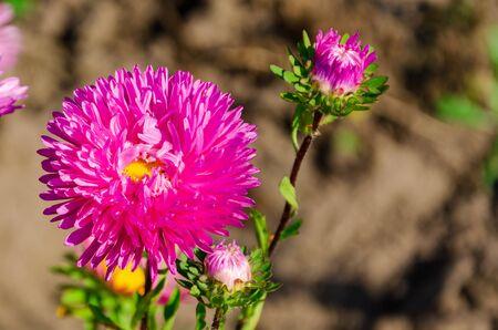 Big bright pink flower in garden. Floral background