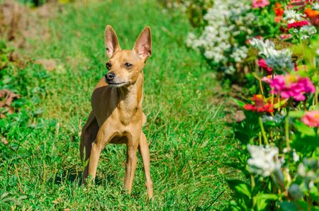 Portrait of dog of toy terrier breed with short hair standing outdoors in a green grass about flower bed on sunny day Stock fotó