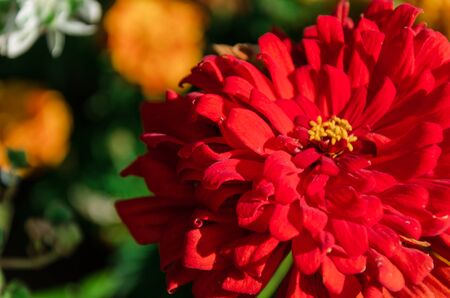 Large red flower on a background of the autumn landscape. 免版税图像