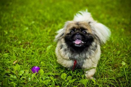 pekingese: Beautiful dog Pekingese