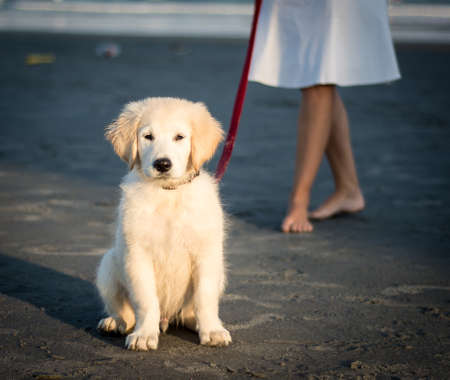 yellow yellow lab: Adorable yellow lab puppy on the beach