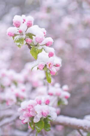Beautiful spring apple blossoms covered with snow. Bloom tree flowers covered in snow. Spring frost over may blooming tree blossoms. Tree spring flowers. Apple blossom in snow Banco de Imagens