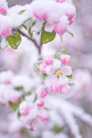 Beautiful spring apple blossoms covered with snow. Bloom tree flowers covered in snow. Spring frost over may blooming tree blossoms. Tree spring flowers. Apple blossom in snow Archivio Fotografico