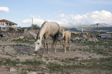 Wild horses in a village, grazing.