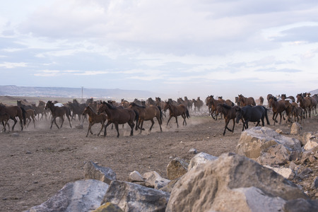 A group of wild horses running.
