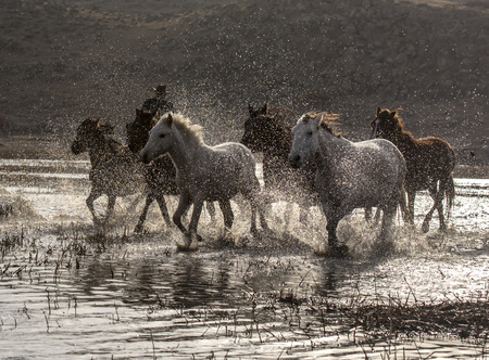 white and brown wild horses running in the water