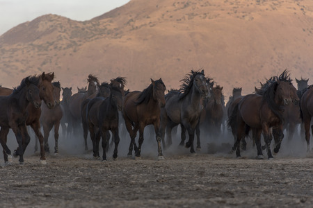 wild horses from the mountain Stock Photo