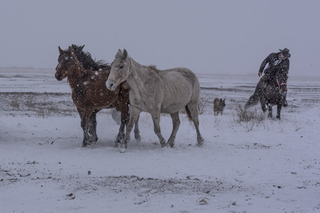horses on snow, white and brown horse
