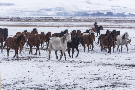 horses on snow, gathering