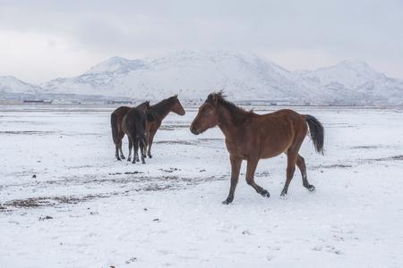 horses on snow