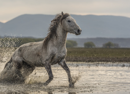white horse freely in the water 版權商用圖片