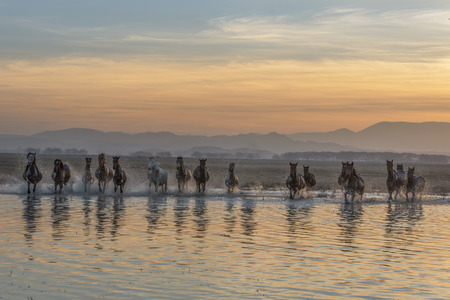 elk horses, reflections in water 版權商用圖片