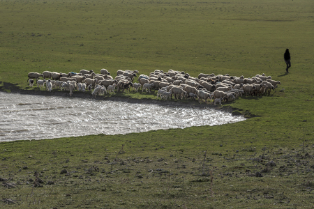 shepherds running their sheep, drinking water
