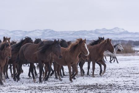 wild horses on snow