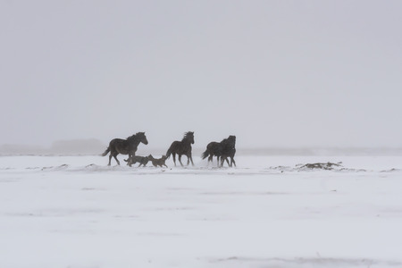 wild horses passing through snow