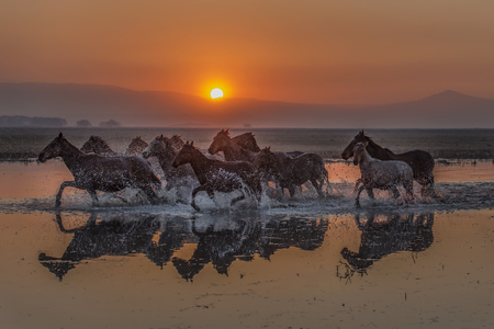sunset and horses cross the water 版權商用圖片