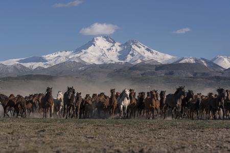 wild horses on snowy mountain skirts