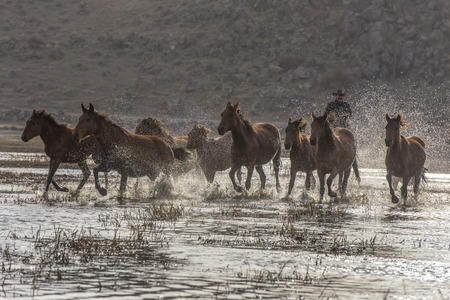 cowboy chasing wild horseback