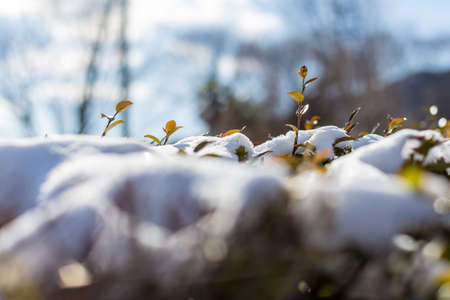 encapsulated: Brilliant  trees leaves sprout up from snow covered