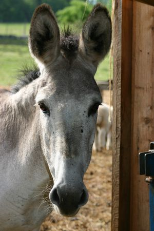 A grey donkey peering into a barn