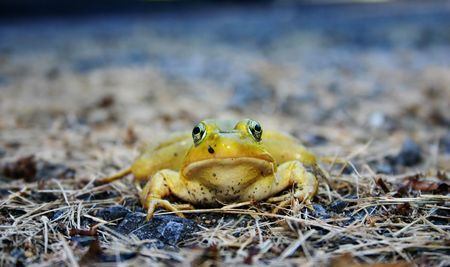 Disgruntled looking frog on dry grass Reklamní fotografie