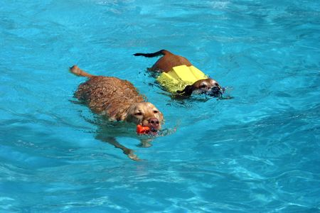 Two dogs swimming together in a pool