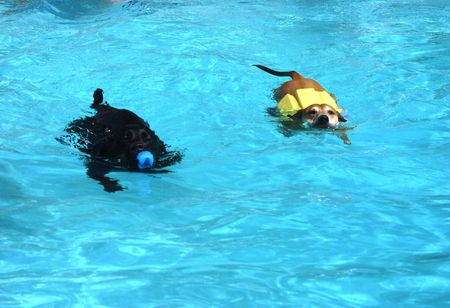 Two dogs swimming together