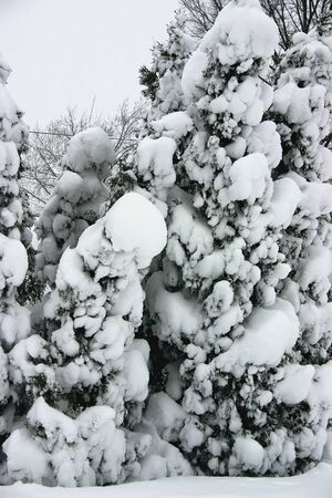 Pine trees covered in snow photo