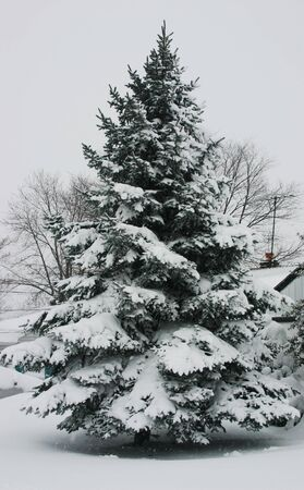 Pine tree covered in snow