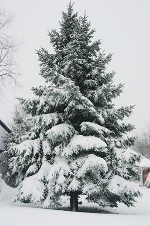 Pine tree tops covered in snow