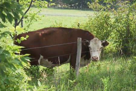 A guernsey cow stares from behind barbed wire
