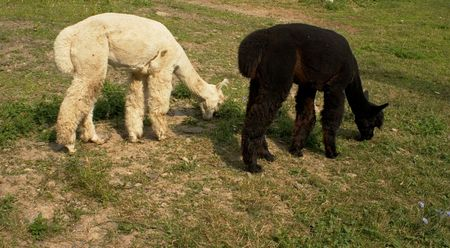 Black and white alpaca grazing