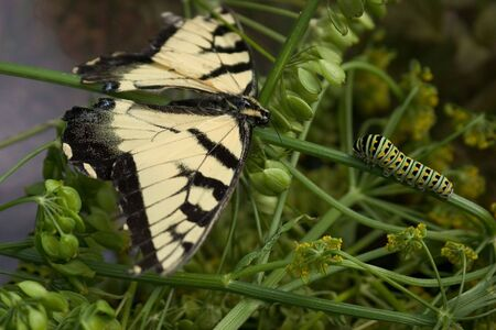 A beautiful butterfly meets a black swallowtail caterpillar on a branch