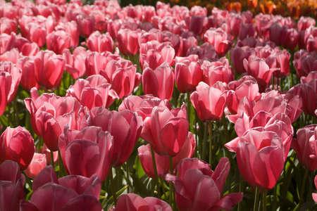 palais: Tulips plant in Holland. Kukenhof Gardens.