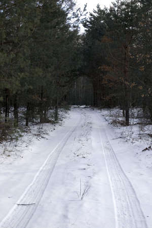 winter forest with pine cowered snow photo
