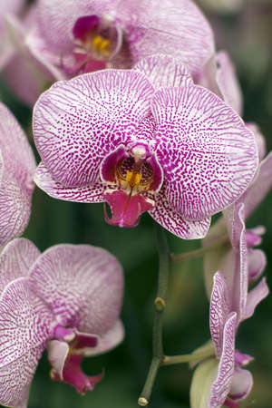 violet and white orchids photo