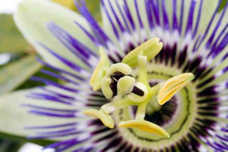 Purple Passionflower Stock Photo - 2677658