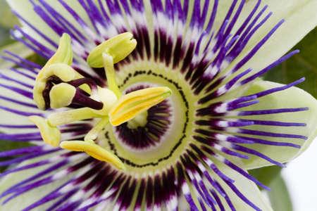 Purple Passiflore Banque d'images