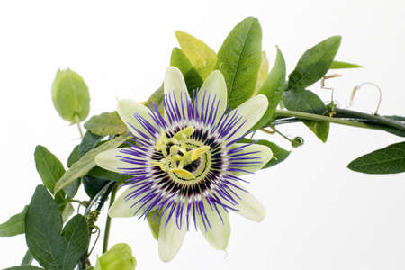passionflower: Purple Passionflower