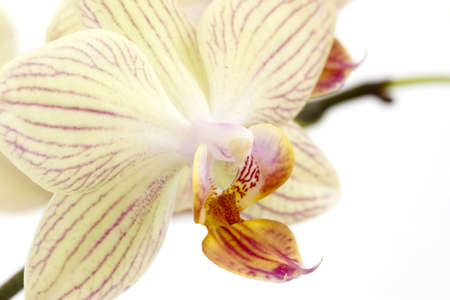 orchids on the white background photo