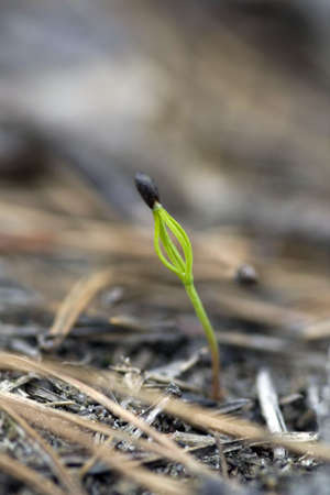 litle: A litle pine with seed. Stock Photo