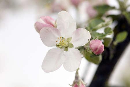 Closeup of apple blossoms. Springtime. photo
